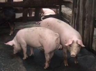 Vendo cerdos por kilo