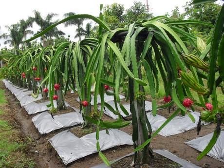 La República Dominicana apuesta por la producción de pitahaya
