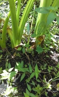 Tenemos plantas de yautía