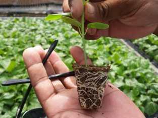 Plantas de frutales