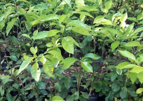 Plantas naranjas agria