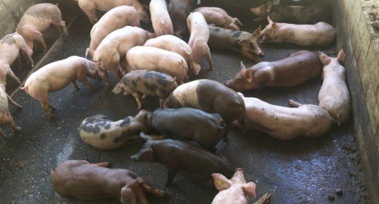 Cerdos de buena genética