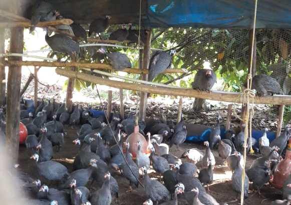 Vendo guineas