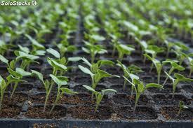Plantas de hortaliza