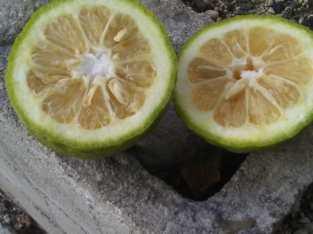 Vendemos naranjas agrias