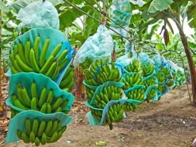 El Gobierno dominicano financia la construcción de una planta de chips de bananos