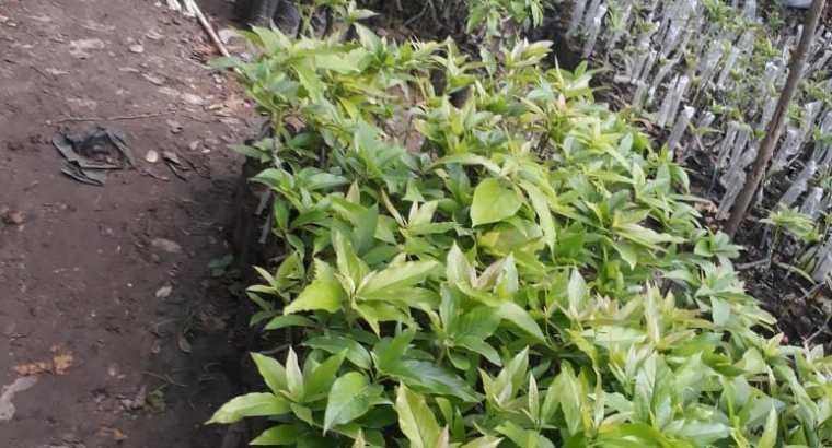 Plantas de aguacates beneke