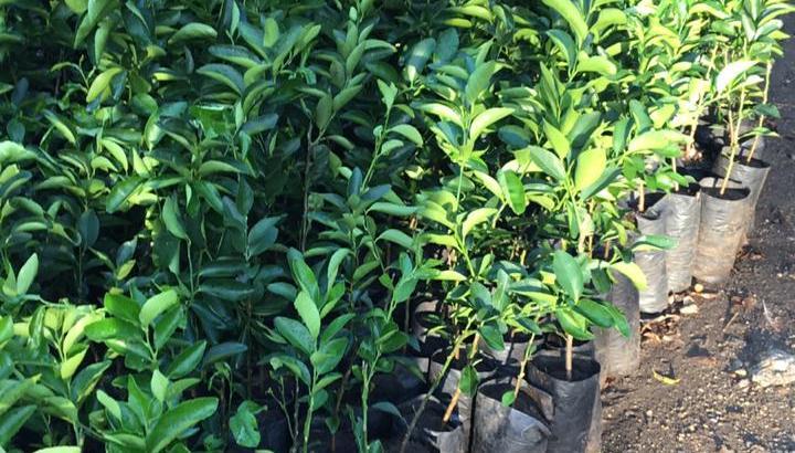 Plantas de limón