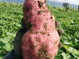 Venta de batatas