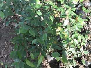 Plantas de clavo dulce