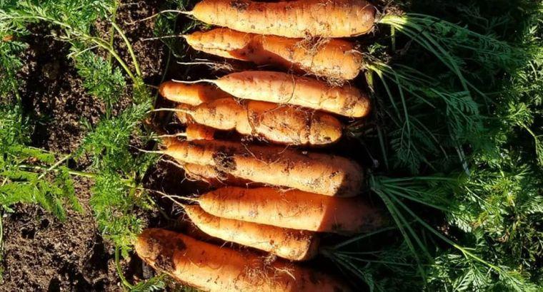 Zanahoria de primera