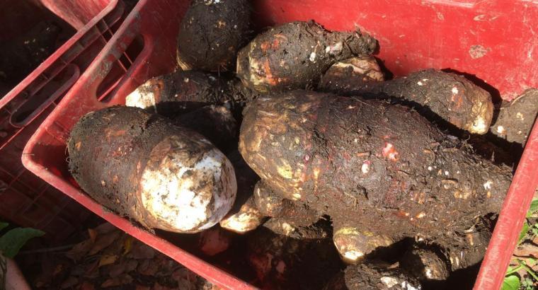 Yautía coco