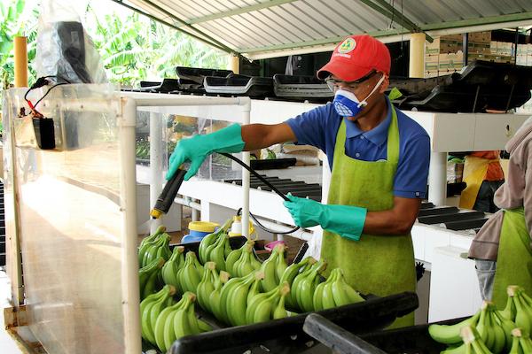 Pequeños productores dominicanos de banano enfrentan grandes desafíos