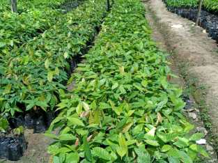 Plantas de cacao hibrido