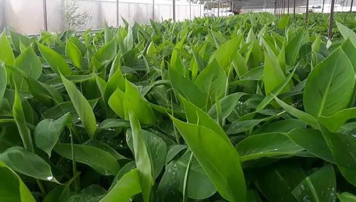 Plantas plátano in vitro