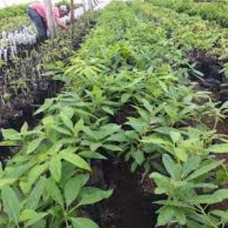 Plantas aguacates hass
