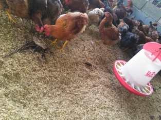 Pollas ponedoras