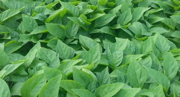 Plantas de ajies