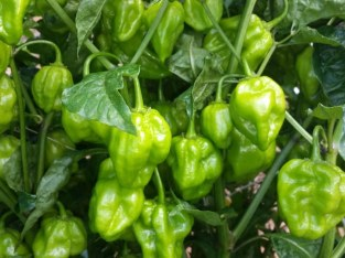 Ají habanero disponible
