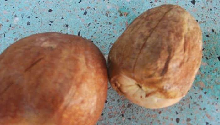 Compro semillas aguacate criollo