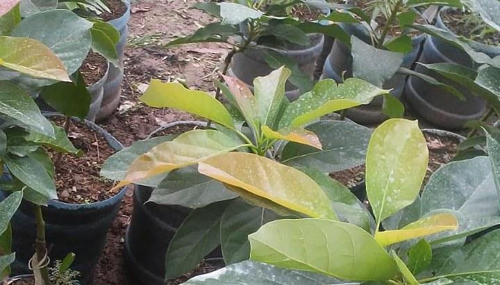 Plantas de aguacates