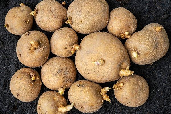 Semillas de papas