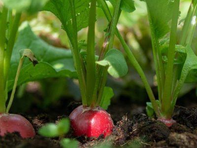 Los primeros rábanos cultivados en el espacio ya se han cosechado