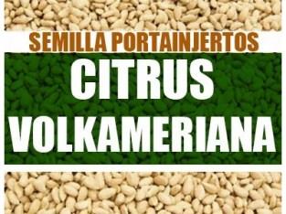 SEMILLAS DE LIMÓN VOLKAMERIANO