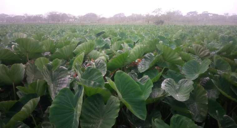 Hijuelos de yautia coco