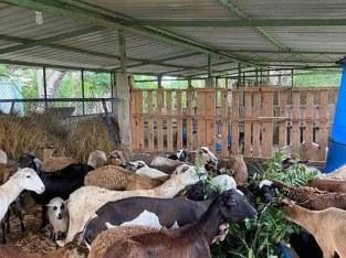 Se vende ovejos
