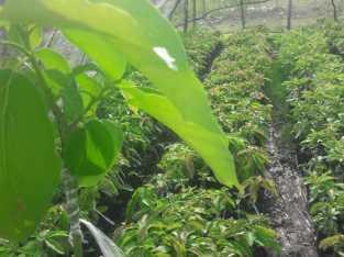Plantas de aguacate Semil 34