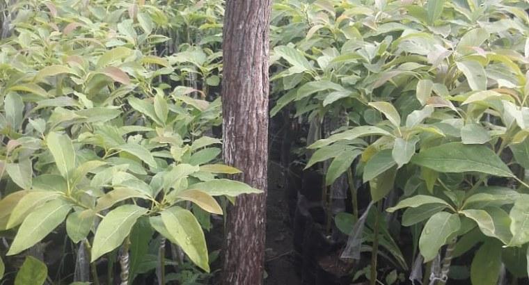Plantas de aguacates hass