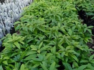 Plantas de aguacate béneke