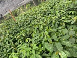 Plantas cafe catimore