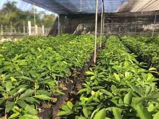 Plantas de agucate semil 34