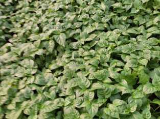 Plantas de aji habanero