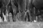 Equines