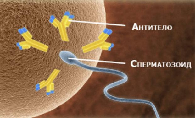Проблема агглютинации спермиев и способы е устранения