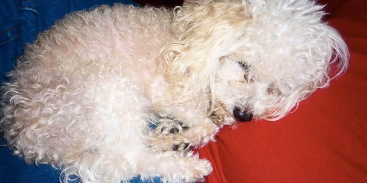 Sueños de un perro herido