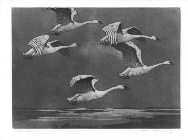 Drawing in pencil of five white swans flying over a body of water.