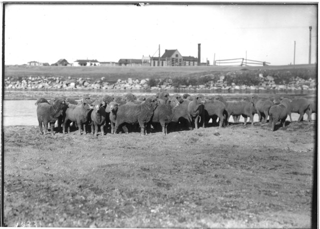 SheepinFrontofWTP_undated_AHCPhotoFiles