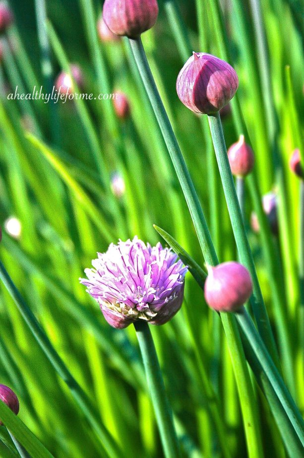 Chives Blooming in the Kitchen Garden