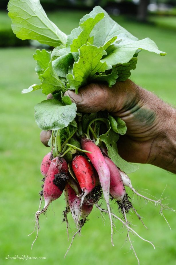 Radishes just out of the Garden   How to Grow Radishes