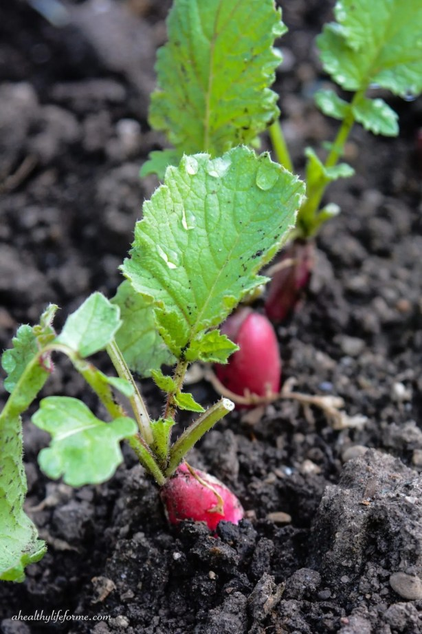 Radishes popping out of the soil   How to Grow Radishes   ahealthylifeforme.com