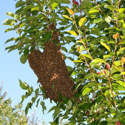 Capturing Bee Swarm