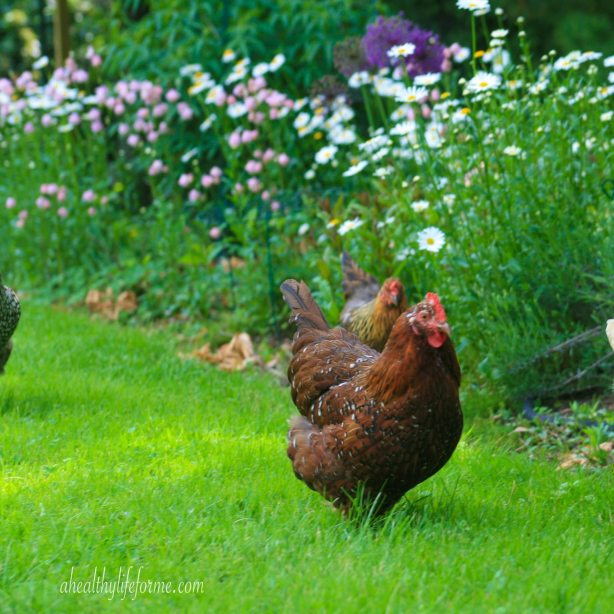 Chickens walking in front of Shasta Daisies planted with Columbine and Allium