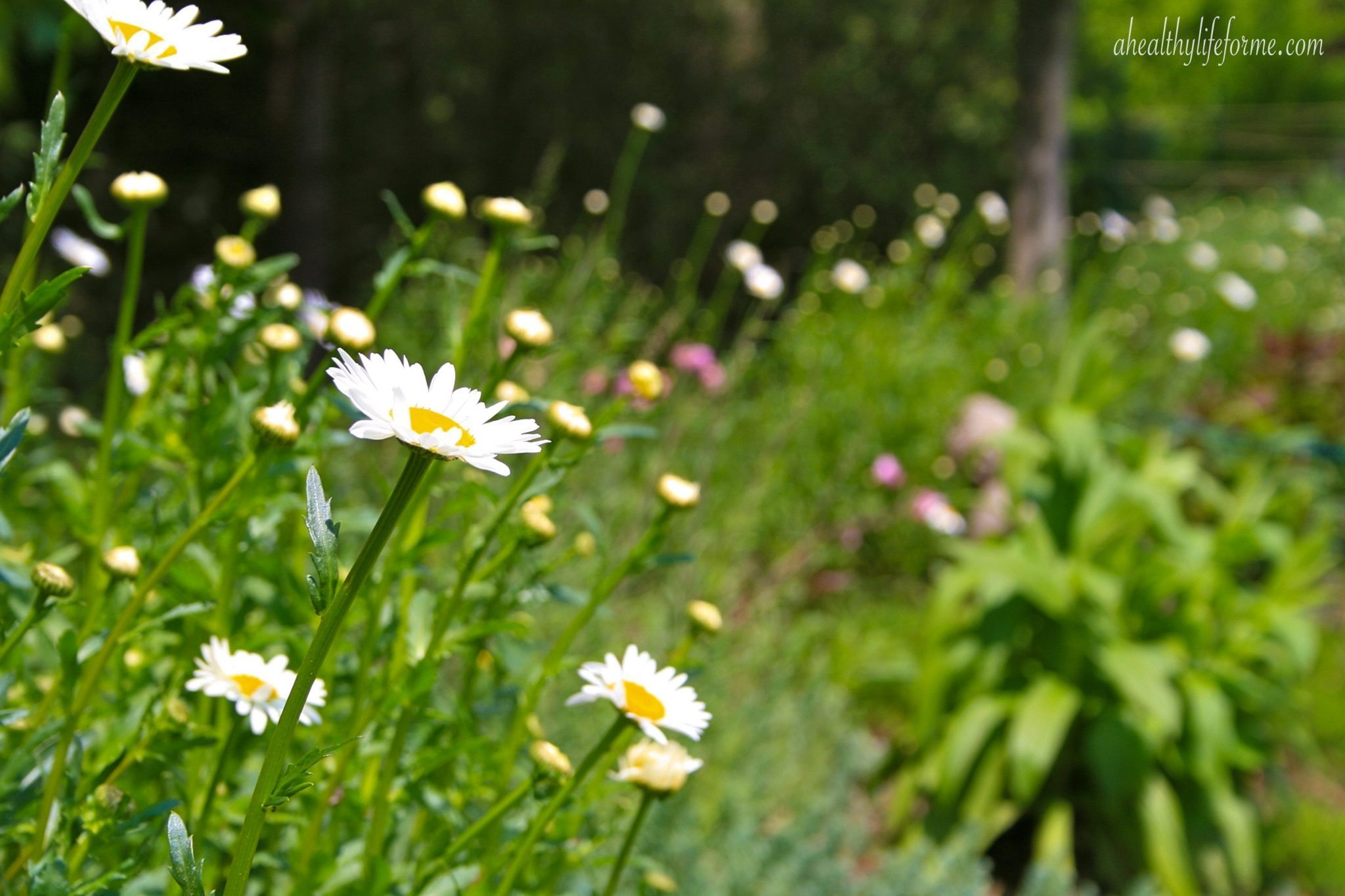 How to grow shasta daisy a healthy life for me shasta daisy growing in a long naturalizing bed izmirmasajfo