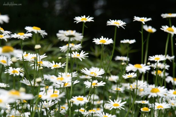 Shasta Daisy in the garden