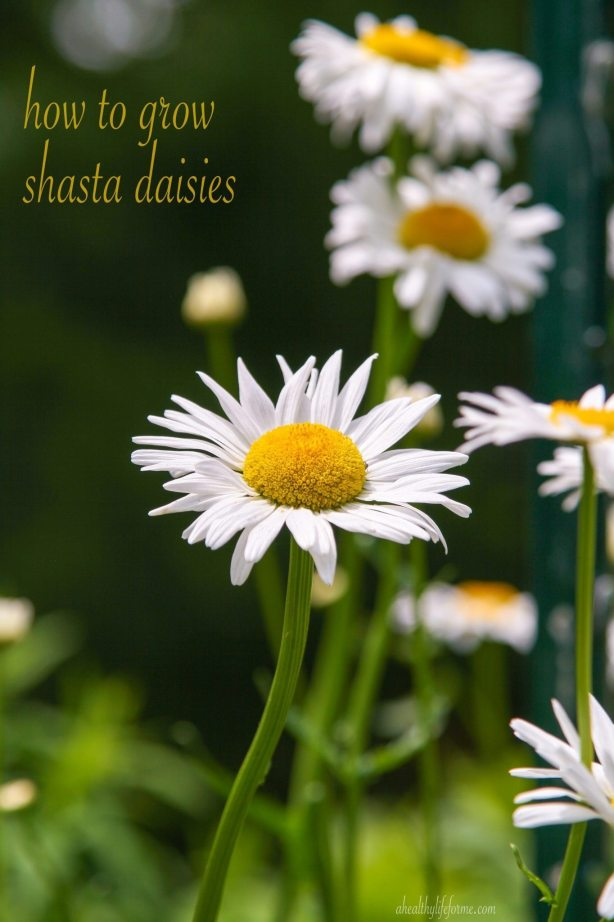 Shasta Diasy in the Garden