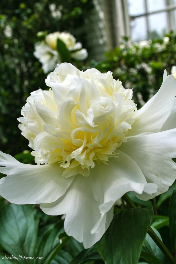 White Double Peony Bloom | Peonies; A Love Affair | aheahtlylifeforme.com